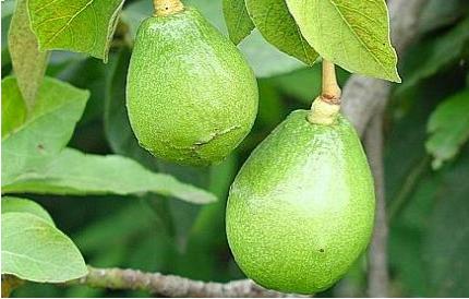 Польза и вред авокадо