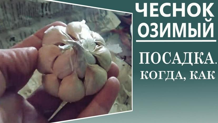 Когда можно сеять зимний чеснок
